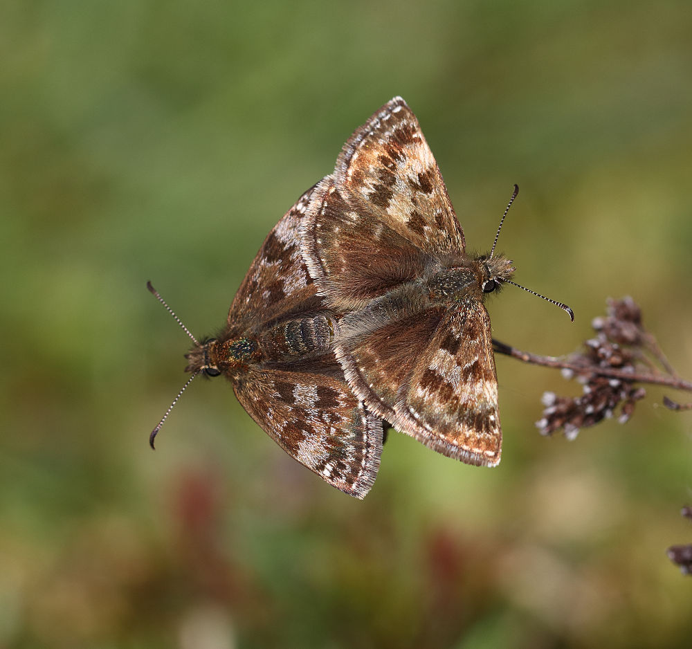 Dingy Skippers mating