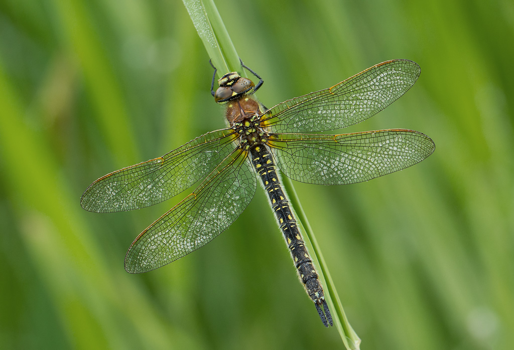 Female Hairy Dragonfly Brachytron Pratense